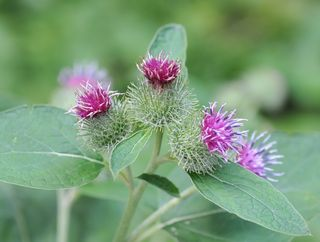 Second year burdock flower