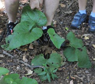 Digging up burdock root
