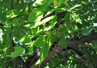 Poison ivy vine form is all over the tree