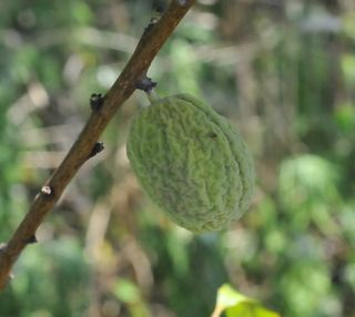 Unripe peach